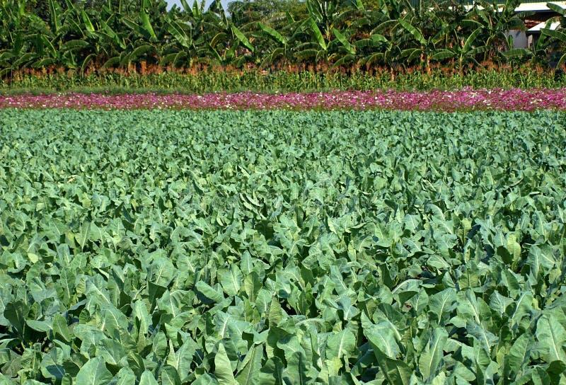 绿色花椰菜厂的领域 免版税库存照片