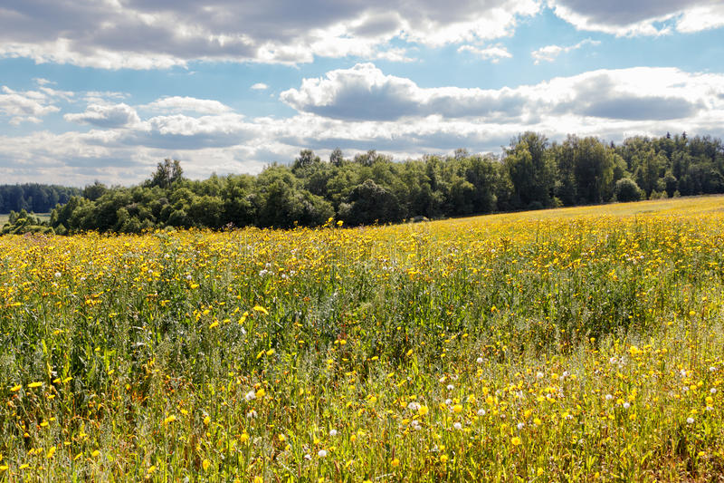 黄色花的领域在森林的背景的 免版税库存图片