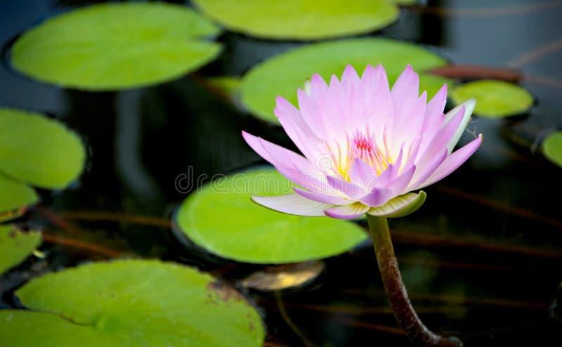紫色花睡莲叶,夏威夷 免版税库存图片
