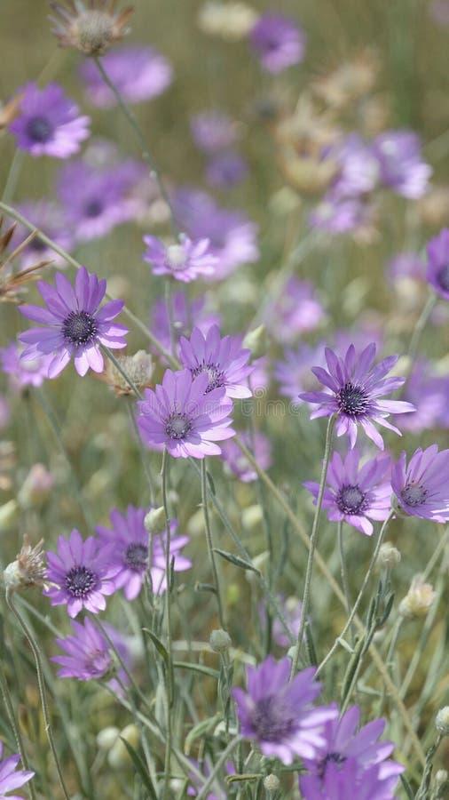 紫色花背景在一个绿色草甸特写镜头的在狂放的自然 免版税库存照片