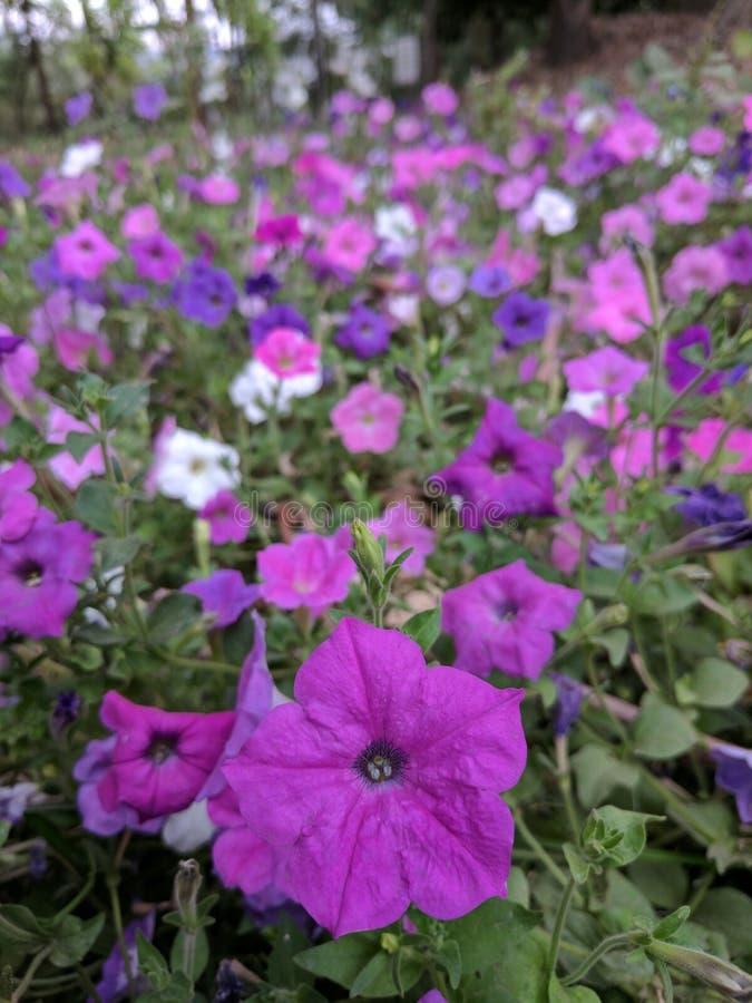 紫色花花 免版税库存照片