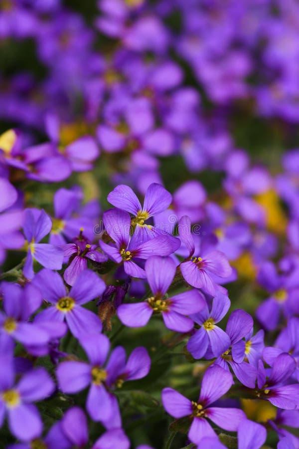 紫色花- Aubretia 免版税库存图片
