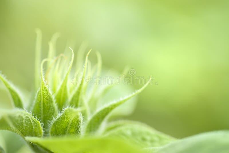 绿色芽向日葵 图库摄影