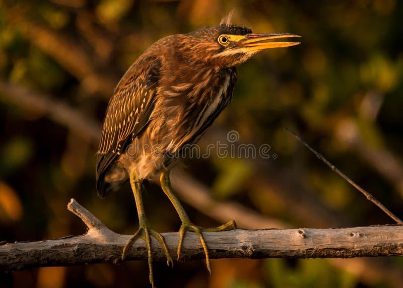 绿色苍鹭鸟画象 库存图片