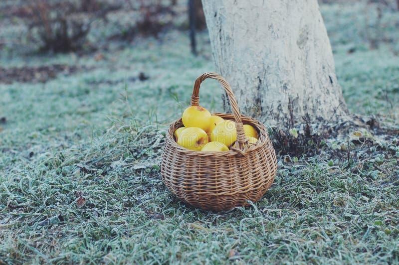 黄色苹果篮子 库存照片