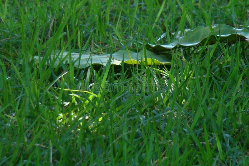 绿色草坪 免版税库存图片