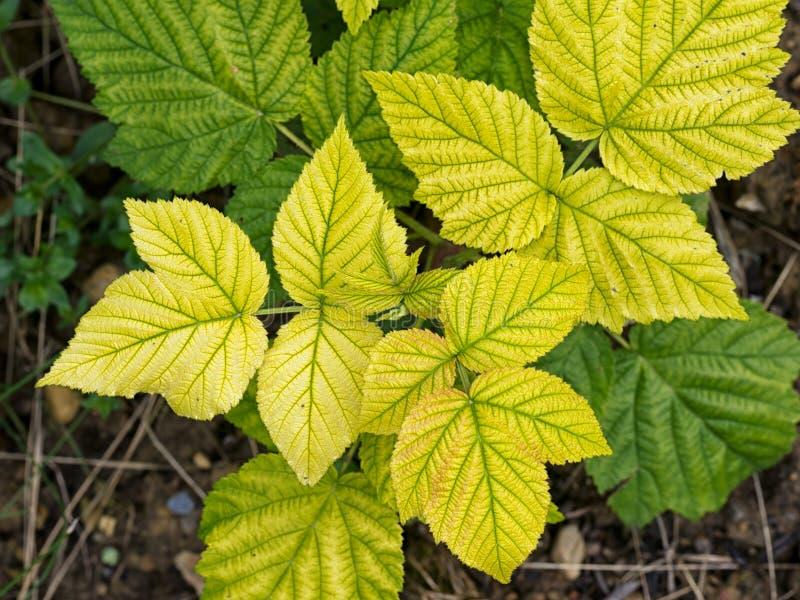 黄色莓叶子-失绿,营养缺乏 免版税库存照片