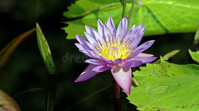 紫色莲花或Lilly 免版税库存照片