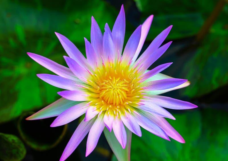 紫色莲花绽放 免版税库存图片