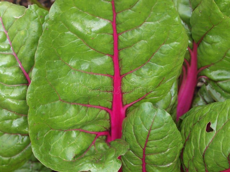绿色菠菜叶子 免版税库存照片