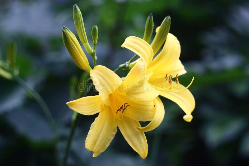 黄色萱草属植物 免版税图库摄影