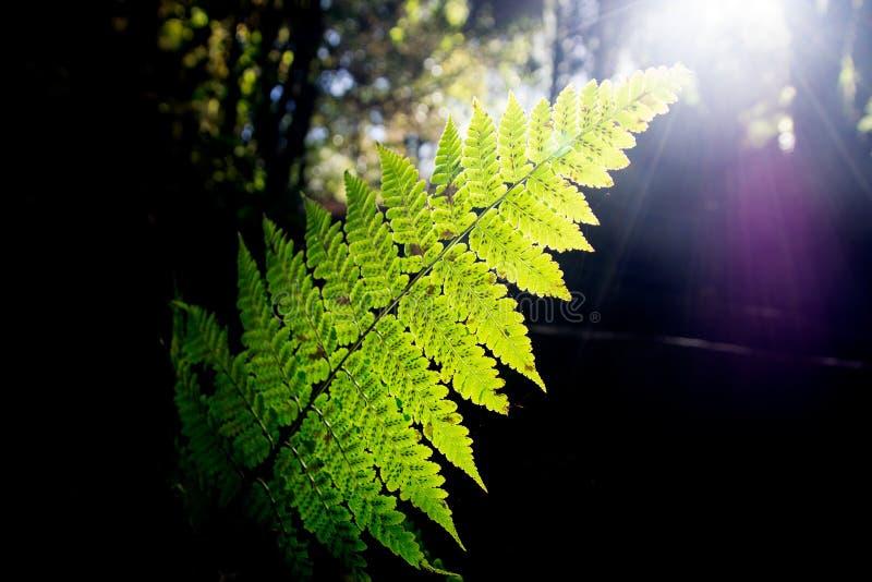 绿色蕨叶子和阳光在森林里 免版税图库摄影