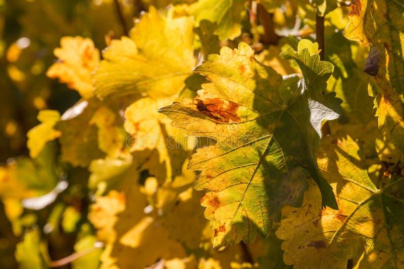黄色藤叶子在秋天 库存图片