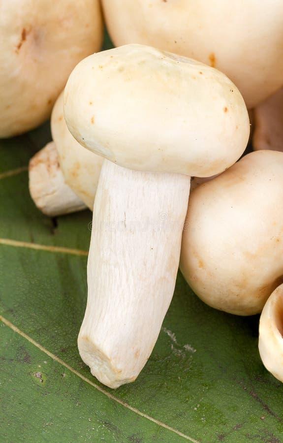 绿色蘑菇或绿色伞菌(红茹属virescens Fr ) 图库摄影