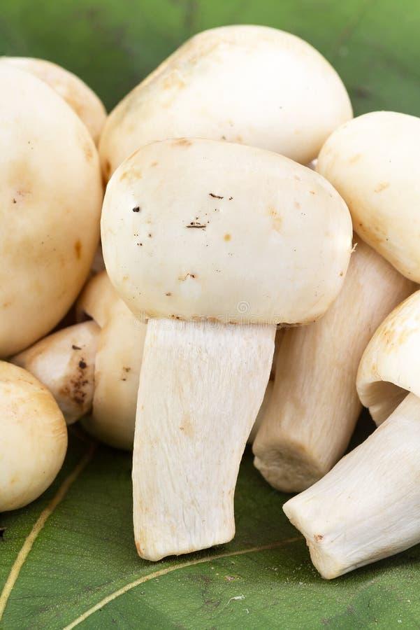 绿色蘑菇或绿色伞菌(红茹属virescens Fr ) 免版税库存图片