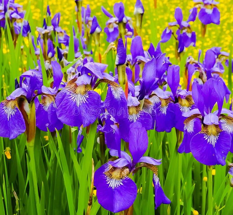 紫色虹膜的领域 免版税库存照片