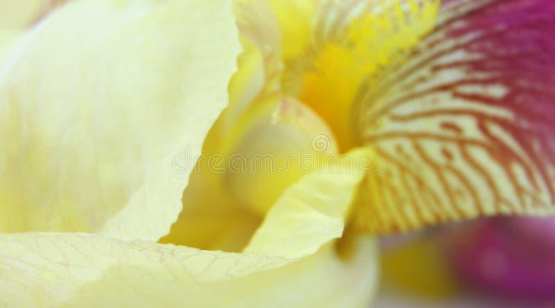 黄色虹膜花瓣 免版税库存照片
