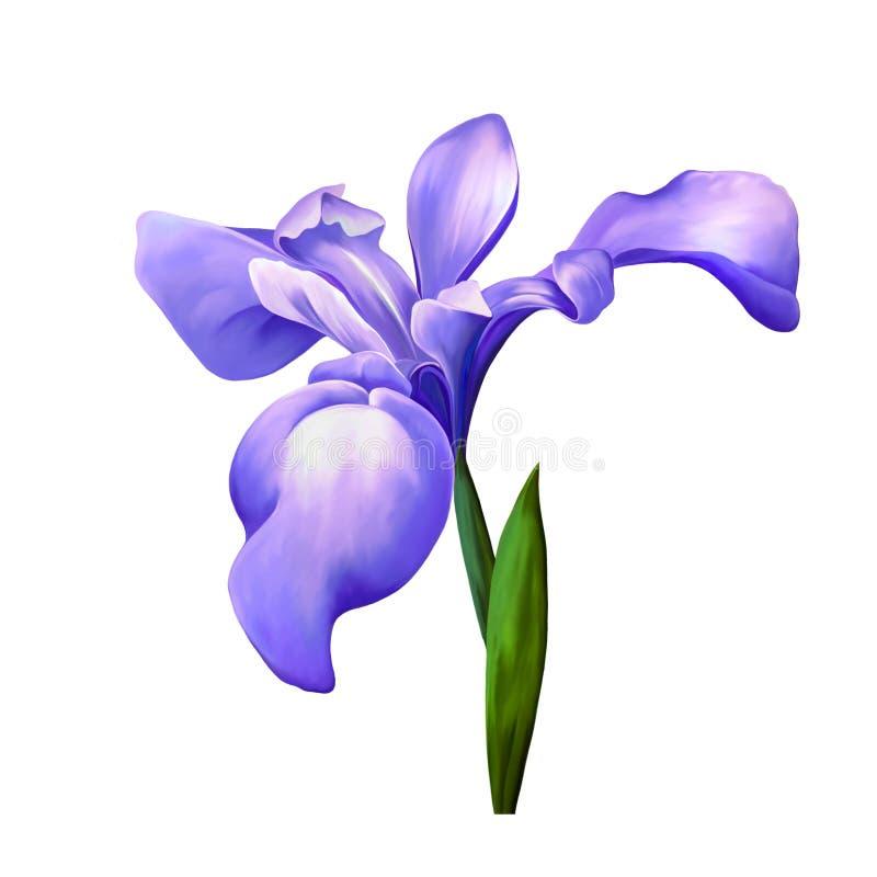 紫色虹膜花,有芽的开花在白色 皇族释放例证