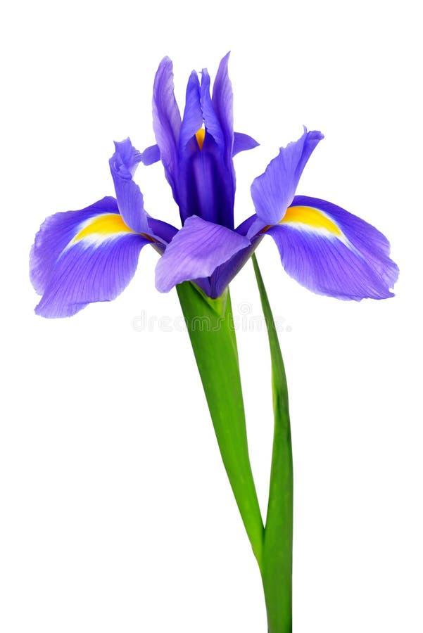 紫色虹膜花 免版税库存图片