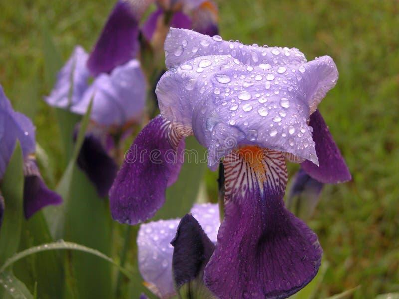 紫色虹膜 免版税图库摄影