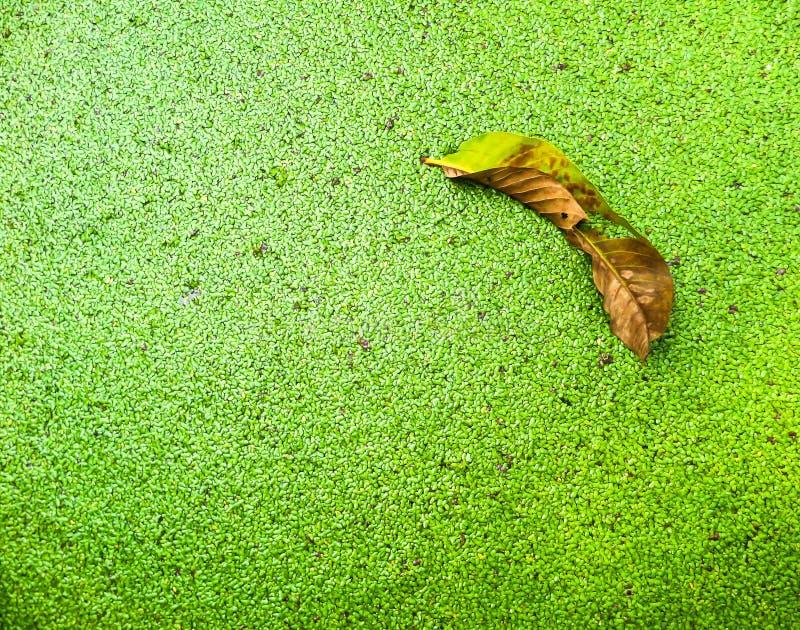 绿色蚊子蕨类叶子  库存照片