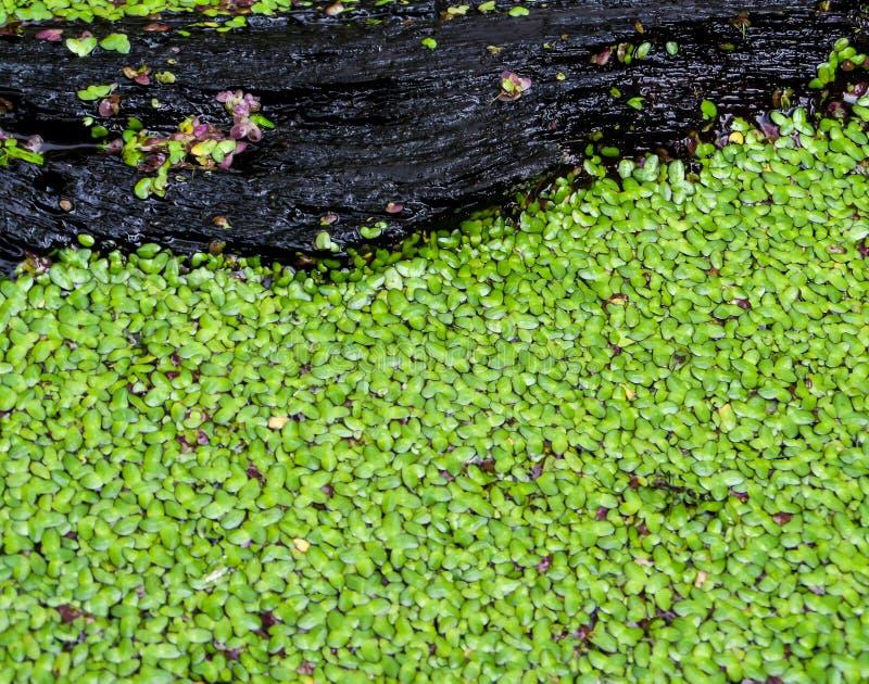 绿色蚊子蕨类叶子  免版税库存照片