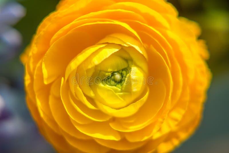 黄色蜡菊属植物 库存图片