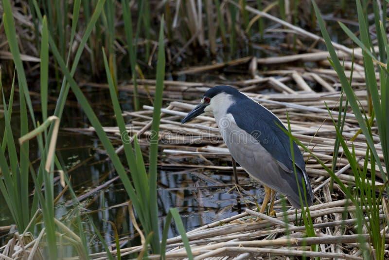 黑色被加冠的夜鹭属在犹他沼泽 库存图片