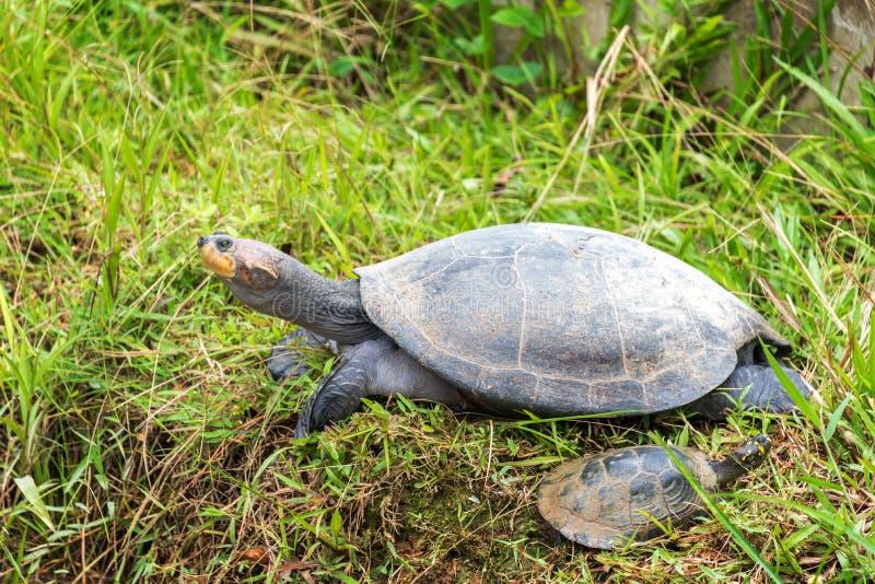 黄色被察觉的亚马孙河乌龟 库存图片