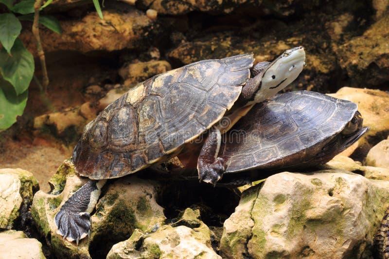 黄色被察觉的亚马逊乌龟 免版税图库摄影