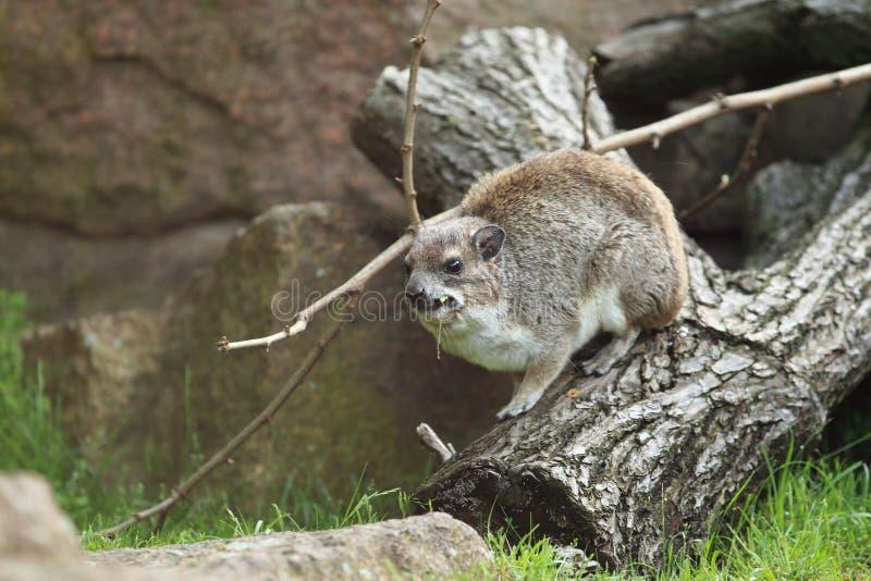黄色被察觉的岩石非洲蹄兔 免版税库存图片