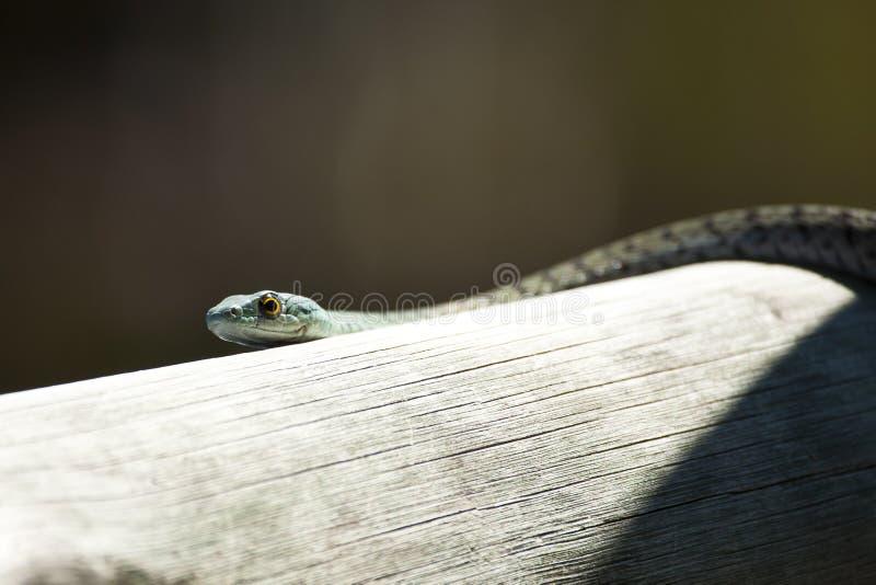 绿色被察觉的布什蛇头  免版税库存图片