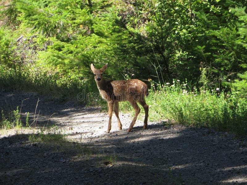 黑色被盯梢的鹿小鹿 库存照片
