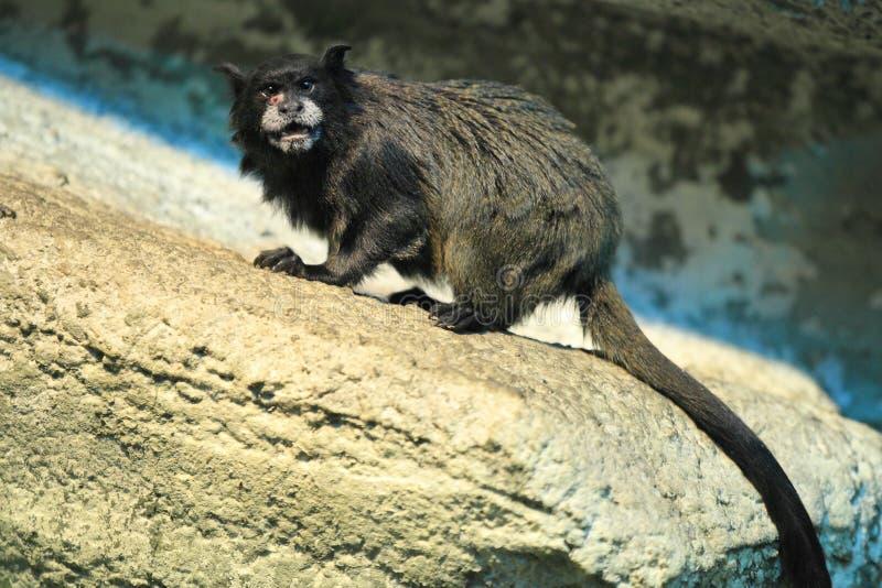 黑色被覆盖的绢毛猴 免版税库存图片
