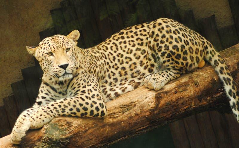 黄色豹子坐分支 免版税库存照片