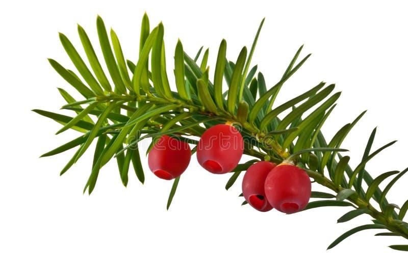 绿色赤柏松枝杈用在白色背景的红色赤柏松莓果 免版税库存照片