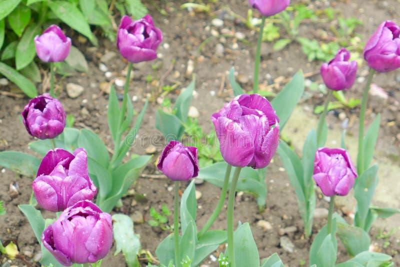 紫色郁金香在公园 免版税库存图片