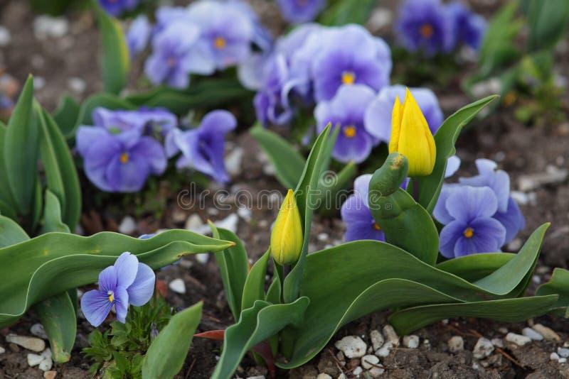 Download 黄色郁金香在花圃里 库存照片. 图片 包括有 方便, 田园诗, 郁金香, 工厂, 户外, 背包, 蓝色, 花圃 - 72367756