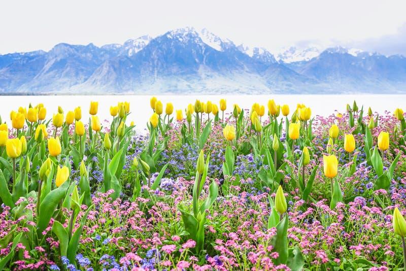 黄色郁金香有湖和山背景 免版税库存图片