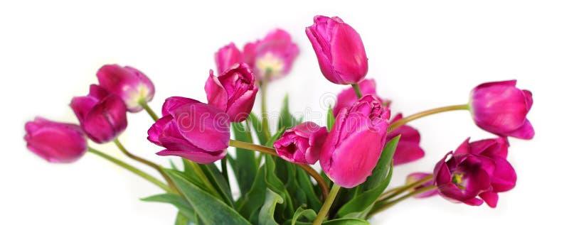 紫色郁金香花束在白色的 库存照片