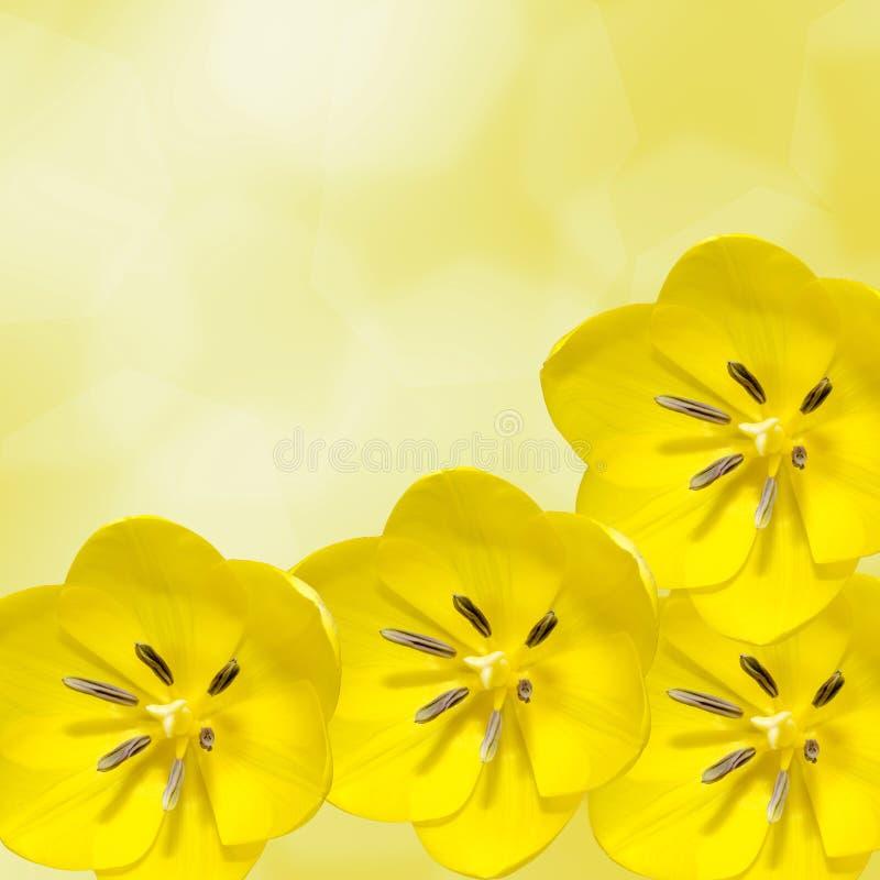 黄色郁金香花,植物布置, 免版税库存图片