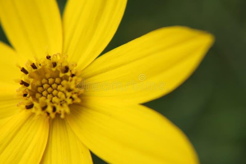 黄色野花 图库摄影