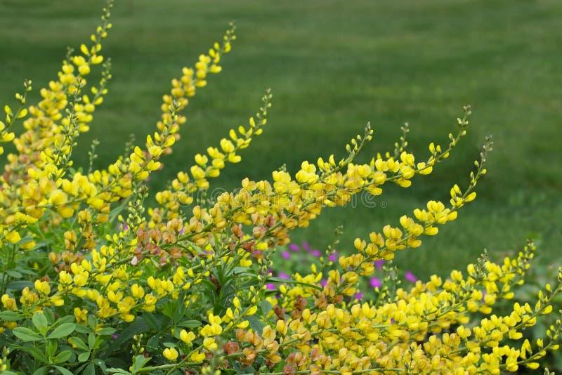 黄色野靛花 库存照片