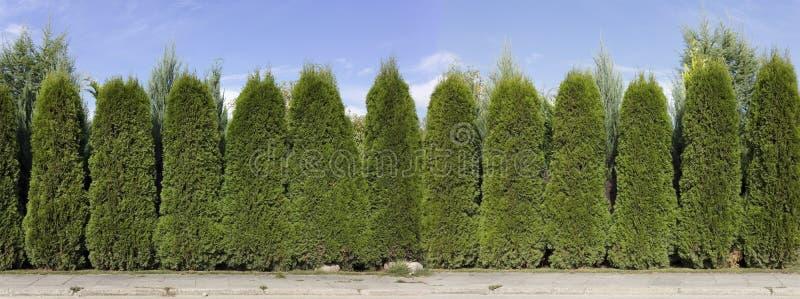 从绿色金钟柏树的树篱 免版税库存照片