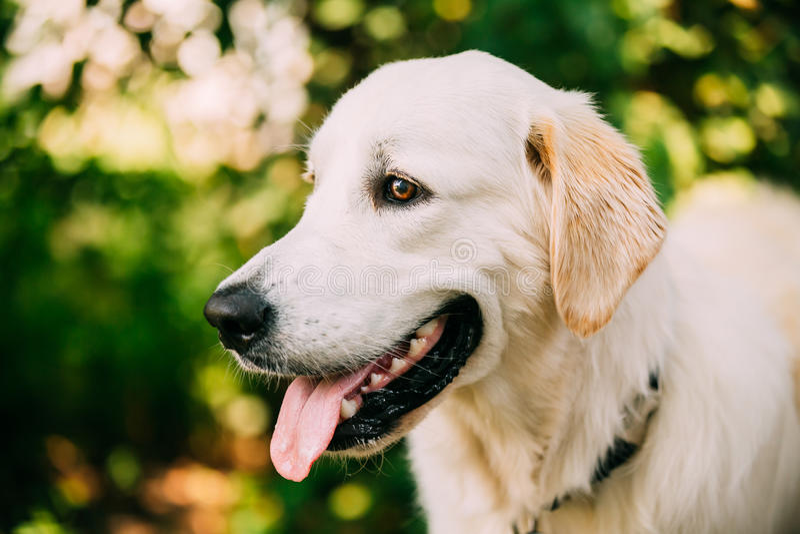 黄色金黄拉布拉多猎犬狗,顶头枪口画象  库存照片