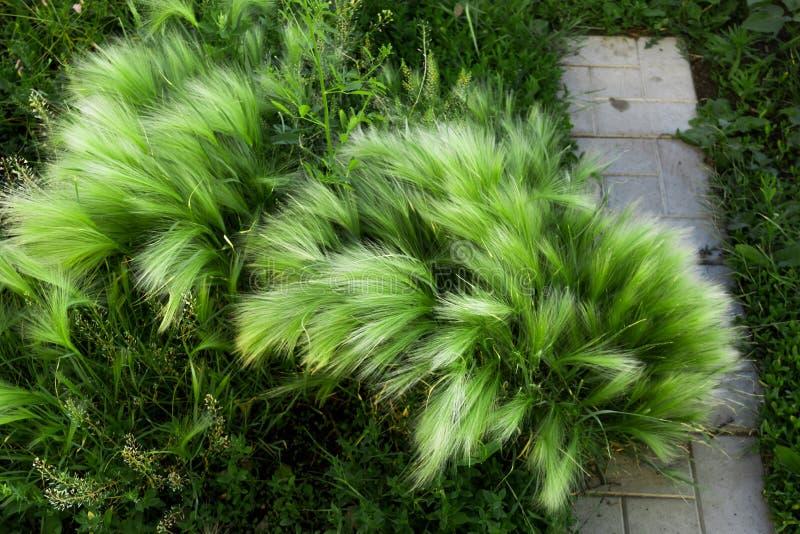 绿色针茅 狂放的植物群在城市 免版税图库摄影