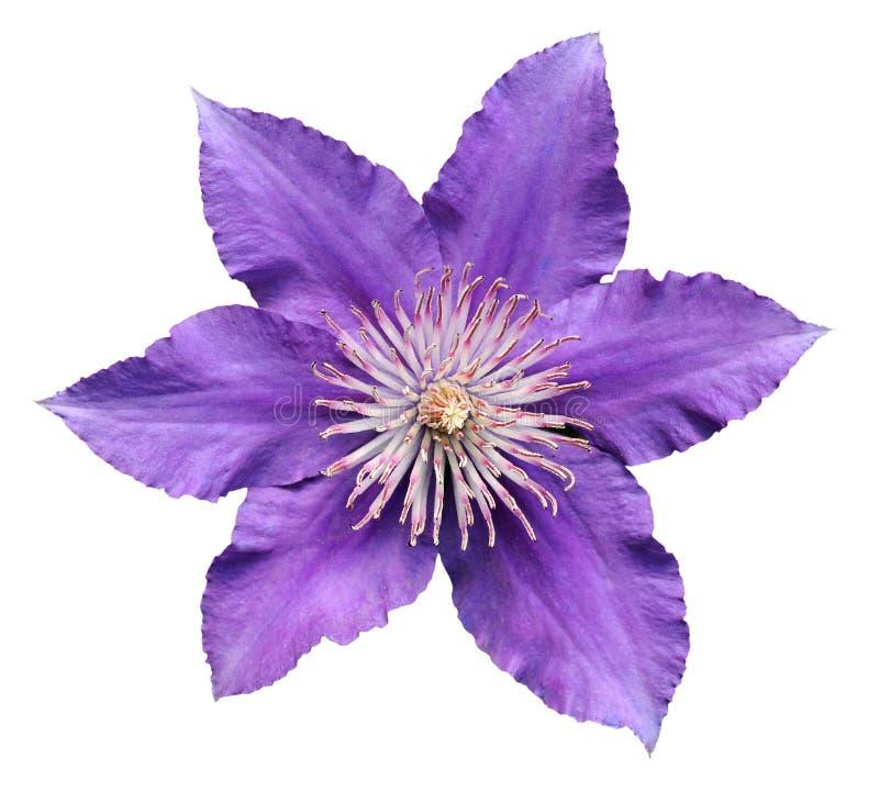 紫色铁线莲属 库存照片