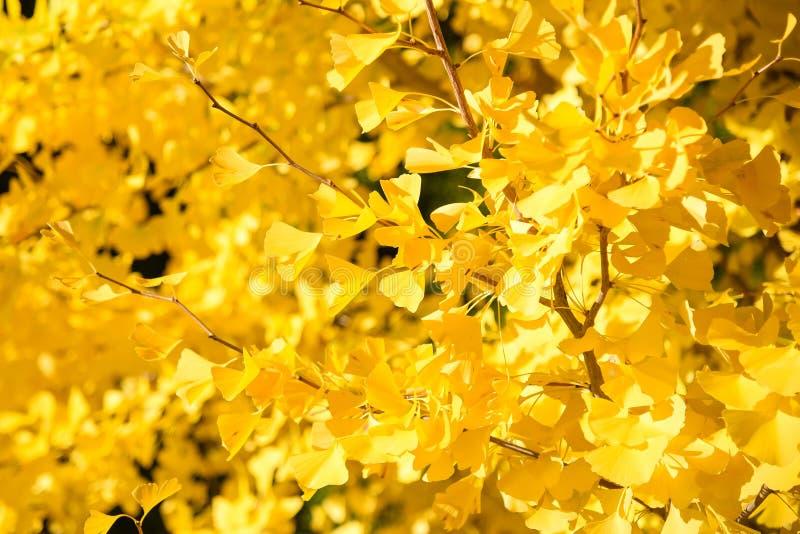 黄色银杏树叶子在秋天 免版税库存图片
