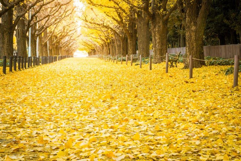 黄色银杏树树和黄色银杏树离开在银杏树大道 库存照片