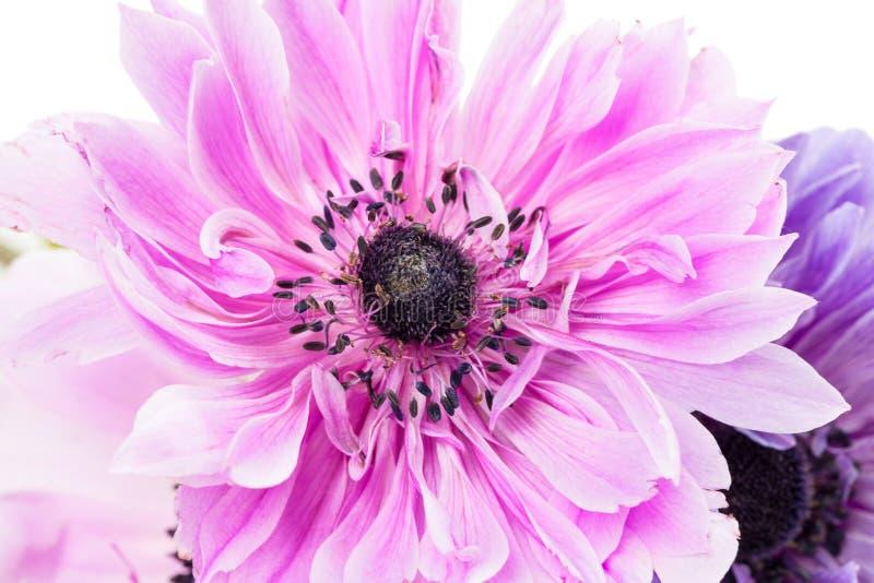 紫色银莲花属 图库摄影